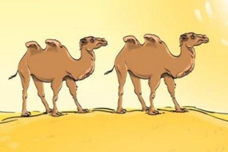 Hádanka, která vás prověří. Poznáte, co je na obrázku velbloudů špatně?
